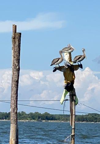 Scare pelican
